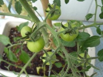 tomato20.jpg